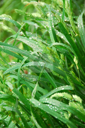 Green grass stock photo, Macro of tall green grass blades with raindrops by Elena Elisseeva