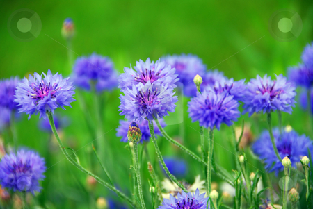 Cornflowers stock photo, Blue cornflowers on green background by Elena Elisseeva