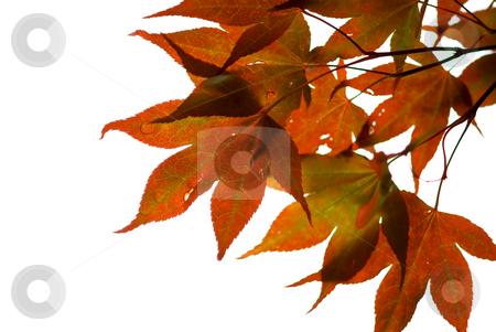 Japanese maple  stock photo, Japanese maple leaves on white background by Elena Elisseeva