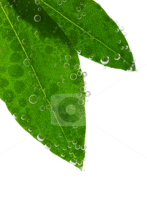 Green leaves in water stock photo, Green leaves of a plant submerged in water with air bubbles by Elena Elisseeva