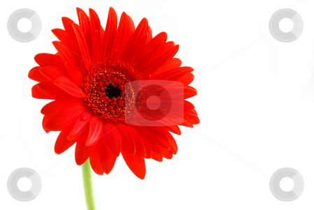 Red gerbera flower stock photo, Red gerbera flower on white background with a stem by Elena Elisseeva