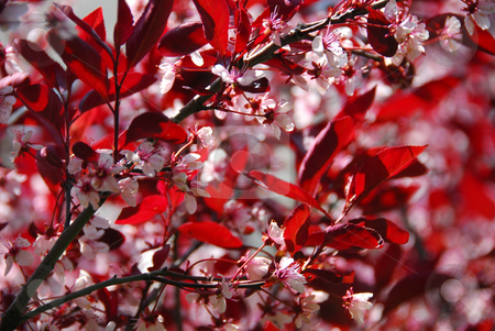Bloomig cherry tree stock photo, Blooming cherry background by Elena Elisseeva