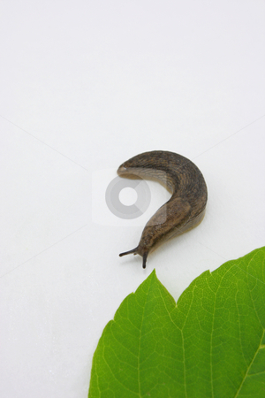 Slug stock photo, A garden slug and a green leaf. by Jessica Tooley