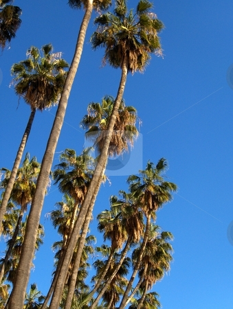 Spanish Palm Trees stock photo, Palm trees isolated against a clear blue sky. by Jessica Tooley