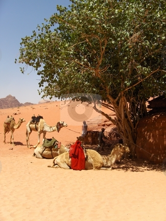 Wadi Rum stock photo, Camels resting in the shade of a small tree in the Wadi Rum desert in Jordan. by Jessica Tooley