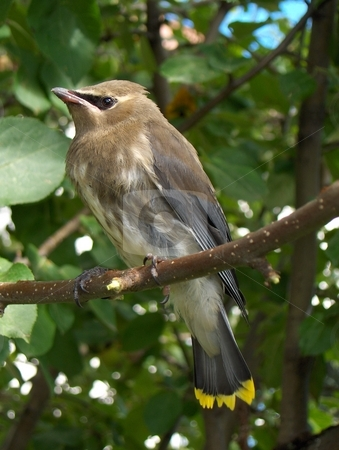 Juvenile Cedar Waxwing stock photo, A young cedar waxwing perched in an apple tree by Jessica Tooley