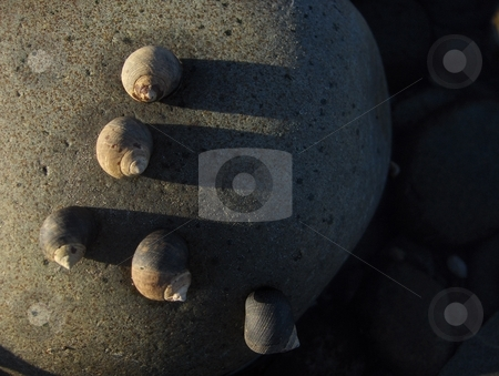 Snails stock photo, Five snails clinging to a stone on a beach. by Jessica Tooley