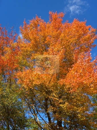 Autumn Foliage stock photo, A colorful tree in autumn against a blue sky. by Jessica Tooley
