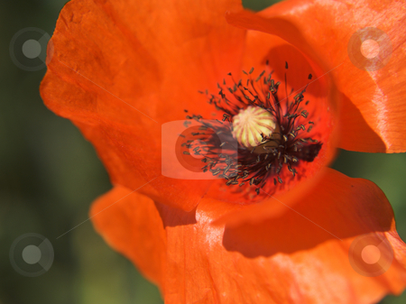 Poppie stock photo, Red poppie by Pier Luigi Ricci