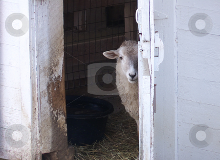 Sheep At Barn Door stock photo, A sheep looking out of an open barn door. by Kathy Piper