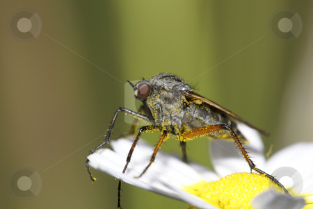 Asilidae stock photo, Asilidae fly in a flower by Humberto Ramos
