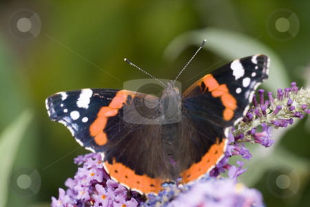 Butterfly stock photo, Butterfly in a flower by Humberto Ramos