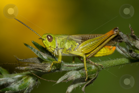 Grasshopper stock photo, Green and yellow grasshopper in a plant by Humberto Ramos