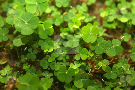 4 Leaf-Clover Forest stock photo, A jungle of 4 (four) leaf clovers! Lucky day! by Daniel Wiedemann