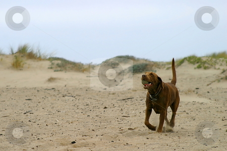 Bring The Ball stock photo, Brown dog retrieving a ball at the beach. by Henrik Lehnerer