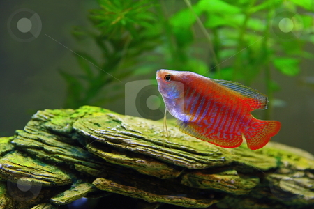 Gurami stock photo, Gourami tropical freshwater fish by Jack Schiffer