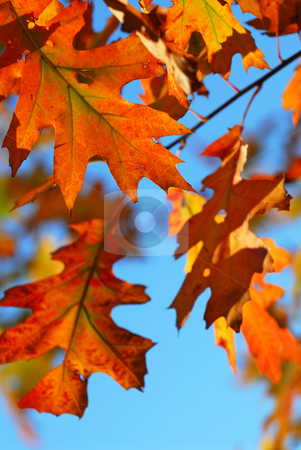 Fall oak leaves stock photo, Closeup of colorful fall oak leaves, natural background with blue sky by Elena Elisseeva