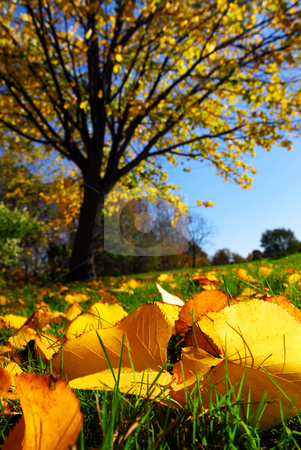 Autumn landscape stock photo, Fall landscape with autumn linden tree and golden leaves on the ground by Elena Elisseeva
