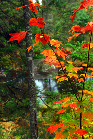 Fall forest and river stock photo, Fall forest with river in the background. Algonquin provincial park, Canada. by Elena Elisseeva