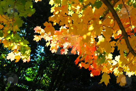 Fall maple leaves stock photo, Glowing colorful maple tree leaves in a fall forest by Elena Elisseeva