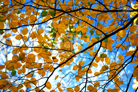 Autumn tree branches stock photo, Tree branches with fall yellow leaves on blue sky background in autumn forest by Elena Elisseeva
