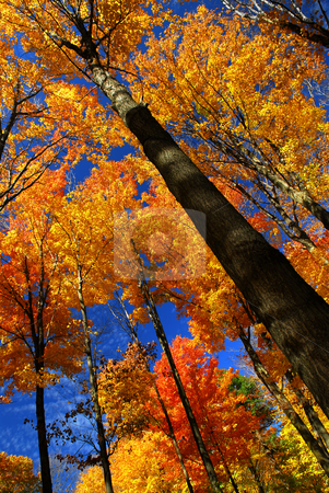 Fall maple trees stock photo, Fall maple trees on warm autumn day by Elena Elisseeva