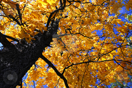Fall elm tree stock photo, Golden autumn canopy of an old elm tree in sunny fall forest by Elena Elisseeva