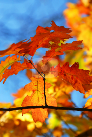 Fall oak leaves stock photo, Oak branch with colorful fall leaves in autumn forest on blue sky background by Elena Elisseeva