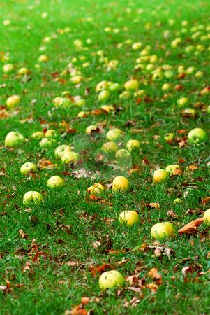 Fallen apples stock photo, Fallen apples under a tree in an orchard by Elena Elisseeva