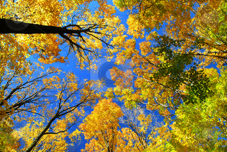 Fall maple trees stock photo, Fall maple trees on a warm autumn day by Elena Elisseeva