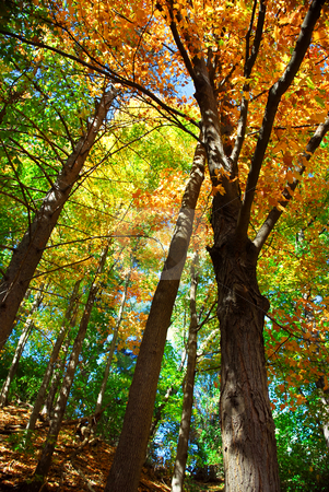 Fall forest stock photo, Colorful fall forest on a warm autumn day by Elena Elisseeva