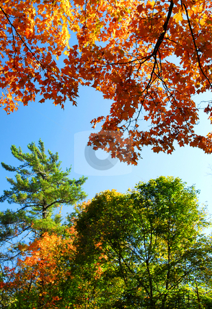 Autumn trees stock photo, Autumn trees with blue sky on a sunny fall day by Elena Elisseeva