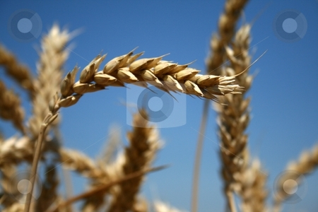 Wheat Harvest stock photo, Grains of wheat still on the stalk framed by a vivid blue sky. by Nathan Smith