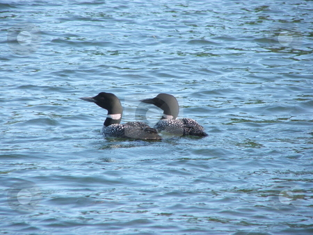 Loon on Minnesota Lake stock photo, A pair of Loons  cruise a lake in north central Minnesota. Loons usually return to the same lake each spring and migrate south in the fall.  Their lilting calls add romance to a quiet summer evening. by Dennis Thomsen