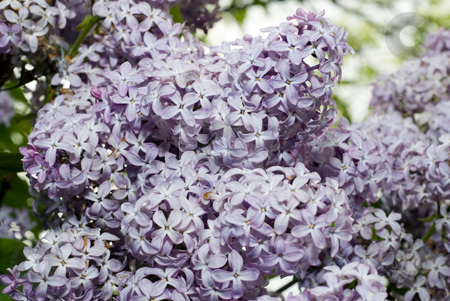 Lilac Bush stock photo, Close-up view of lilac flowers bunched together by Richard Nelson