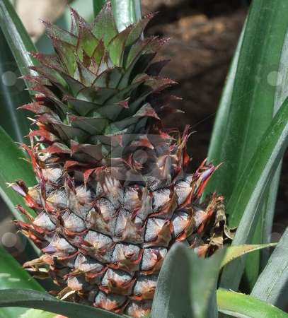 Wild Pineapple stock photo, Wild pineapple growing on the ground by Marburg