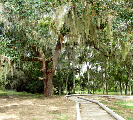 Tree Draped in Spanish Moss stock photo, Tree draped in Spanish Moss by Marburg