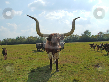 Texas LongHorn stock photo, Texas LongHorn facing camera by Marburg