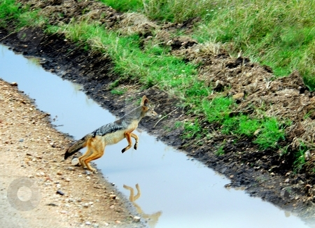 Jackal Jumps Over Water, Tanzania, Africa stock photo, A male Black Backed Jackal jumps over a roadside drainage ditch to see a female on the other side. Location is Tanzania, Africa, Early June by Janie Mertz