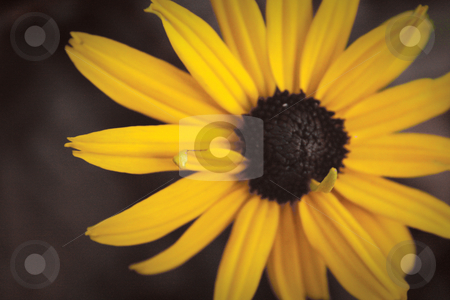 Black Eyed Susan stock photo, A softly-lit yellow Black-Eyed Susan flower seen from above. by Nathan Smith
