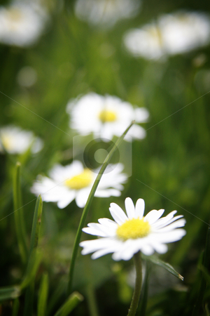 Tiny White stock photo, Close-up of small white flowers and a single blade of grass. by Nathan Smith