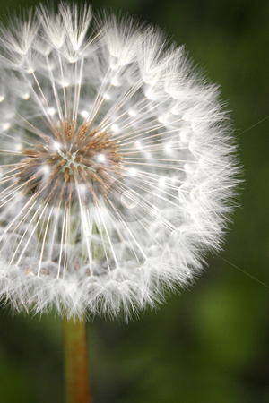 Just Dandy stock photo, A ripe dandelion awaits a breeze to send its seeds floating on the wind. by Nathan Smith