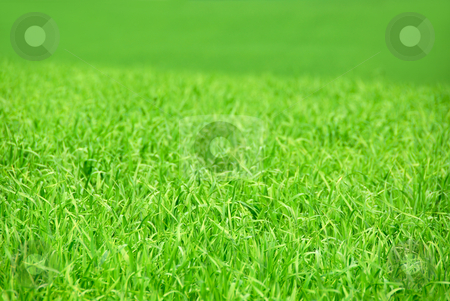 Green field stock photo, Agricultural landscape background - green field of young grain grass by Elena Elisseeva