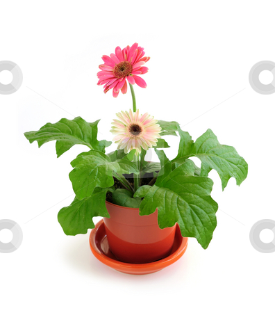 Houseplant on white background stock photo, Potted houseplant pink gerbera isolated on white background by Elena Elisseeva