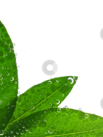 Green leaves in water stock photo, Green leaves in water isolated on white background by Elena Elisseeva