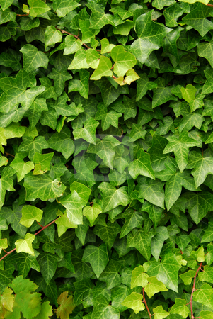 Green ivy background stock photo, Abstract background of lush green ivy leaves by Elena Elisseeva