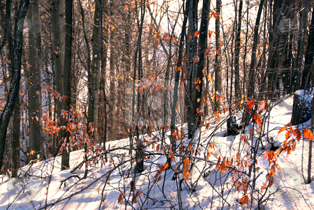 Winter forest stock photo, Winter forest landscape with white snow and orange dry leaves by Elena Elisseeva
