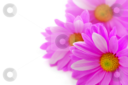 Pink flowers stock photo, Floral background of pink flowers close up on white by Elena Elisseeva