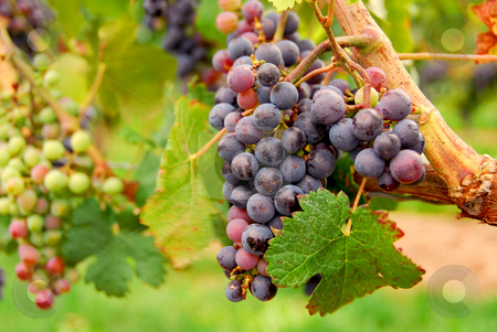 Red grapes stock photo, Red grapes growing on a vine by Elena Elisseeva