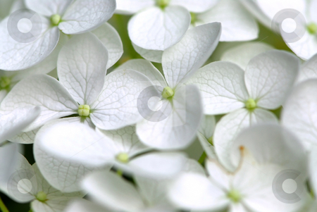 White flower macro stock photo, Macro of Hydrangea flower, botanical background by Elena Elisseeva